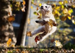 Dog leaping through autumn leaves